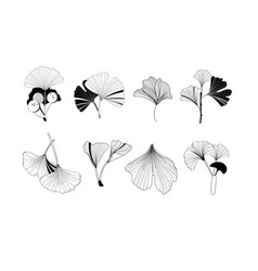 a set ginkgo plant icons vector image