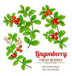 lingonberry plant set on white background vector image