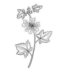 Drawing mallow flower vector