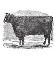 Short horn heifer vintage vector