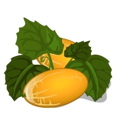 Big ripe juicy yellow melon with leaves vector image