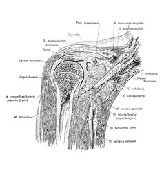 Frontal section through the shoulder vintage vector