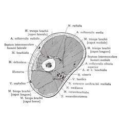 Cross section through arm below insertion of vector