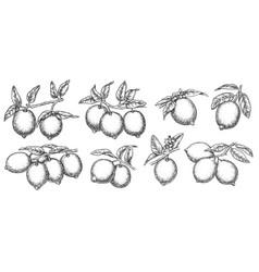 tropical lemon fruit tree branch sketch vector image
