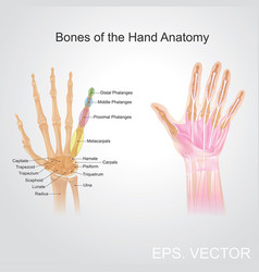 bone of the hand anatomy vector image