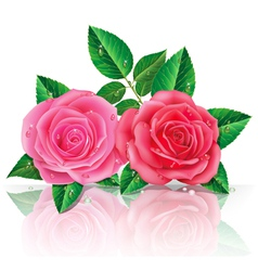 Beautiful pink and red rose vector image