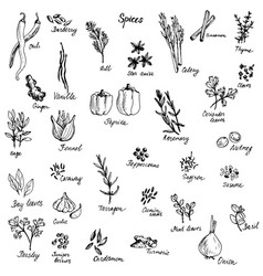 sketch of spices vector image