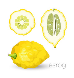 Delicious exotic sour esrog fruit with rough skin vector