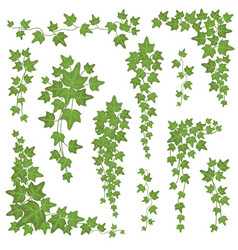 Ivy green leaves on hanging branches wall vector
