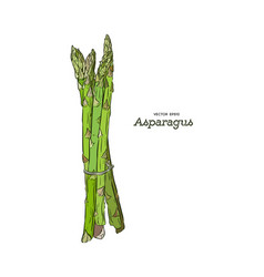 hand drawn asparagus isolated template for your vector image