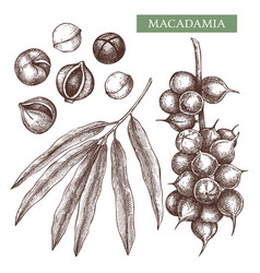 macadamia hand drawn food drawing nut tre vector image