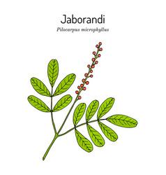 Maranham jaborandi pilocarpus microphyllus vector
