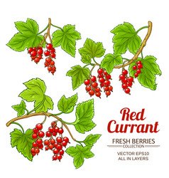 Red currant plant isolated vector