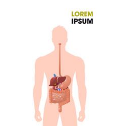 human internal organs gastrointestinal tract vector image