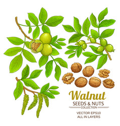 Walnut plant set on white background vector