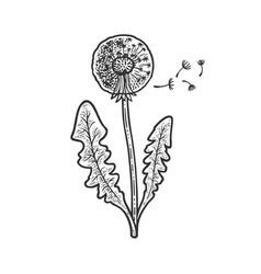 dandelion taraxacum sketch vector image