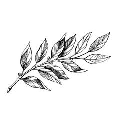 Laurel branch sketch vector