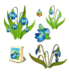 Stages of growth and wilting blue wildflowers vector