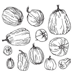 various pumpkins botanical hand drawn set vector image