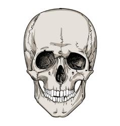 Human skull isolated on white vector
