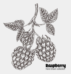 sketchy raspberry branch hand drawn berries vector image