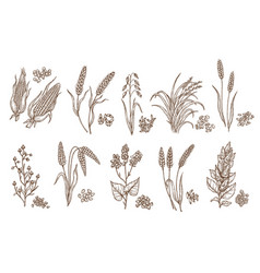 cereal plant grain and seed isolated sketches vector image