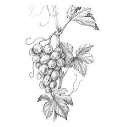 Grape branch pencil drawing vector