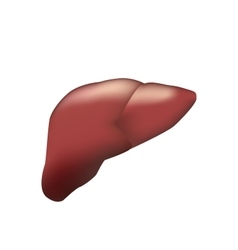 Realistic human liver medical vector
