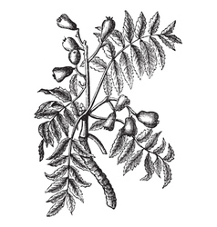 Service Tree vintage engraving vector image