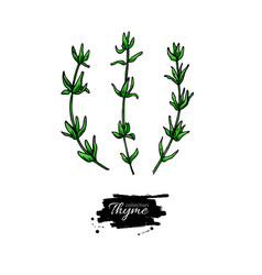 thyme drawing isolated thyme plant with vector image