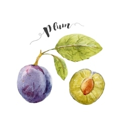 Watercolor hand drawn plum vector image