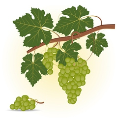 Green grape vector image