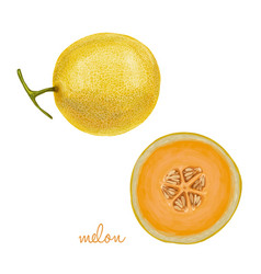 hand drawn juicy melon vector image