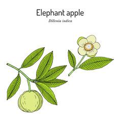 Elephant apple or chalta dillenia indica edible vector