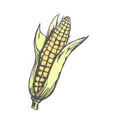 ripe corn cob with leaves isolated vector image