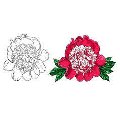hand drawn peony flower set on vector image