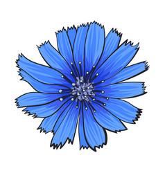 open chicory wild flower head top view sketch vector image vector image