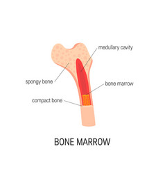 Bone marrow concept vector