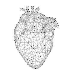 Heart anatomical human organ from abstract vector