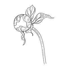 peony bud ink sketch on white background vector image
