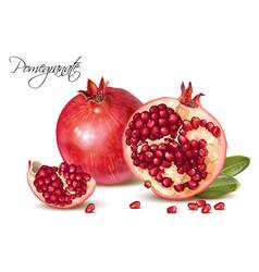 Pomegranate realistic vector