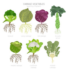 Cabbage beneficial features graphic set gardening vector