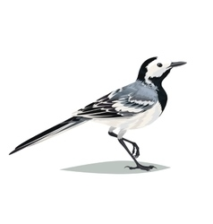 Realistic bird Wagtail on a white background vector image vector image