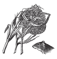 Harvest Mouse Nest Engraving vector image vector image
