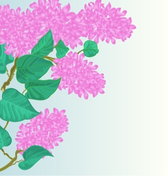 Branch of lilac with flowers species Syringa vector image
