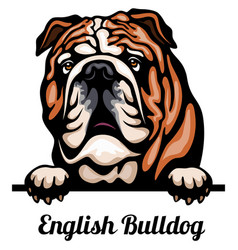 head english bulldog - dog breed color image vector image