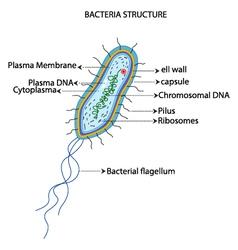 Structure of a bacterial cell cartoon vector image