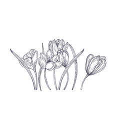blooming spring crocus flowers isolated on white vector image