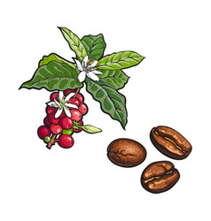 Coffee tree branch fried beans vector