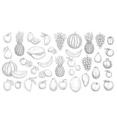 sketch fruits isolated garden or tropic vector image